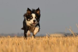 border-collie-corre