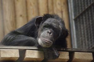 cara-chimpanzee