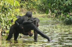 las-hembras-de-bonobo-se-enfadan-mas-que-los-machos_image_380
