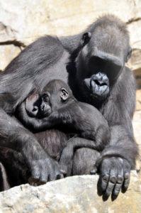 madre-gorila