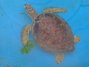 tortuga-sos-reserva-fauna-marina